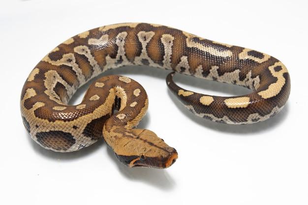 Python de sang rouge de sumatra sur blanc