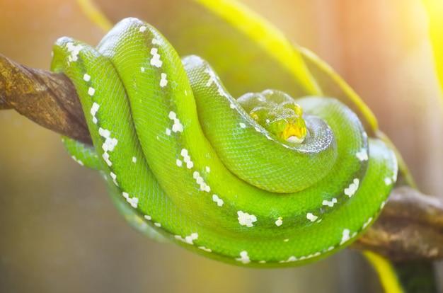 Python vert sur les branches des arbres dans la jungle.