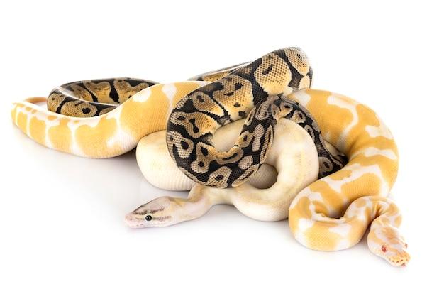 Pythons royaux en studio