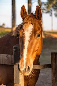 Quarter american horse brun