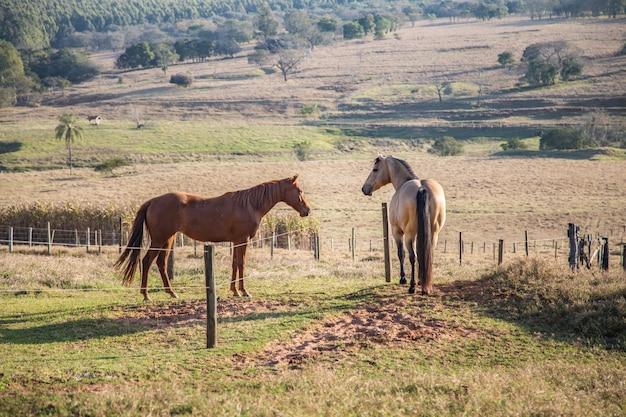 Quarter horses américain