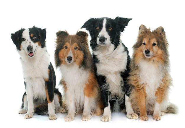 Quatre beaux chiens
