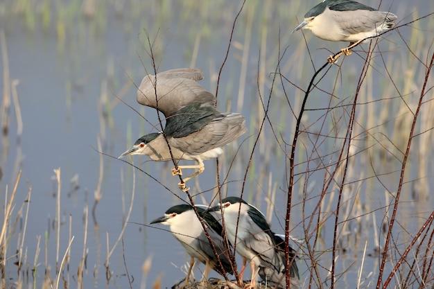 Quatre bihoreaux adultes sont assis sur les branches ensemble