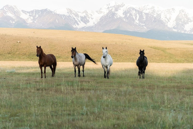 Quatre chevaux sont alignés sur fond de montagnes. les chevaux des quatre cavaliers