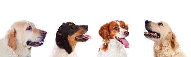Quatre chiens différents
