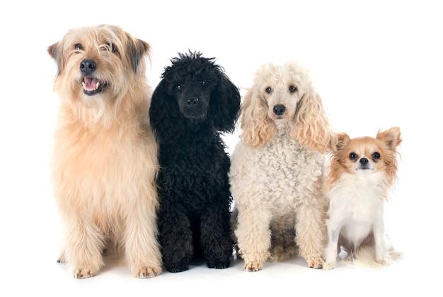 Quatre chiens