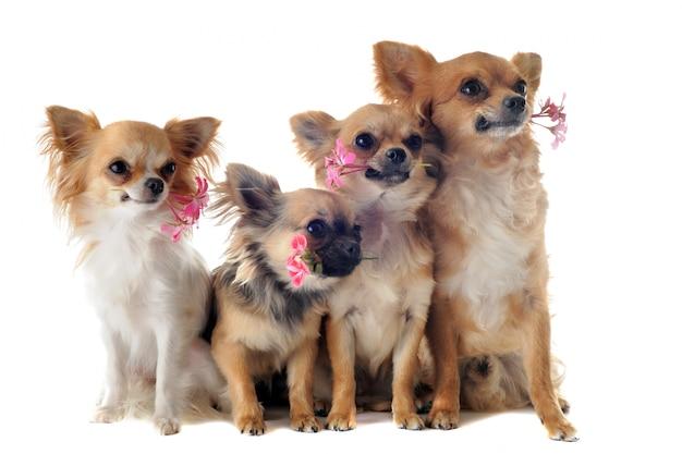 Quatre chihuahuas et fleurs