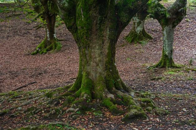 Quatre hêtres et racines