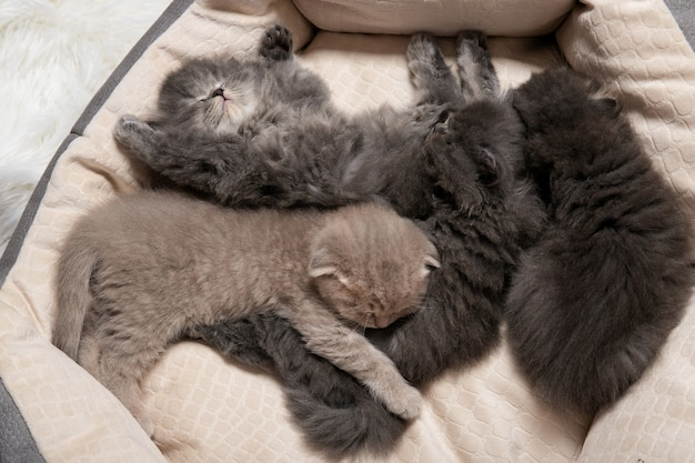 Quatre petits chatons dorment dans un lit de chat