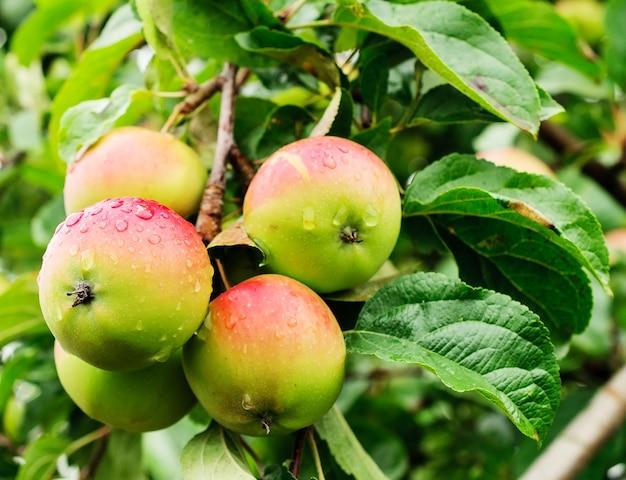 Quatre pommes sur une branche d'un pommier