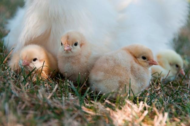 Quatre poussins avec leur mère