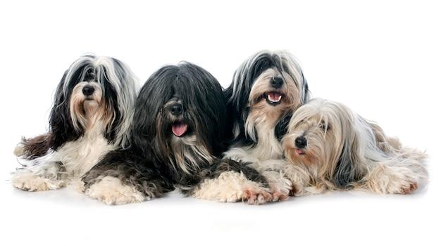 Quatre terrier tibétain