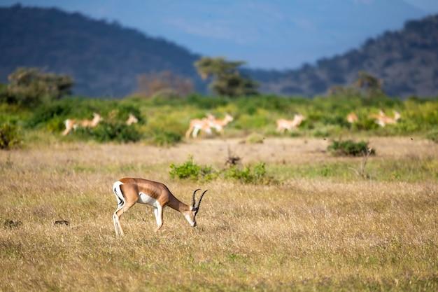 Quelques antilopes dans le paysage herbeux du kenya
