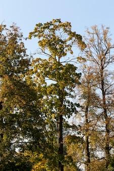 Quelques cimes d'arbres feuillus en automne, forêt