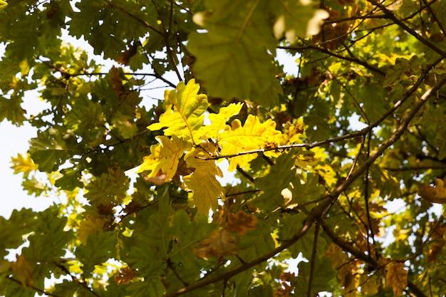 Quelques feuilles de chêne gourmandes, éclairées par la lumière du soleil à travers les branches et le feuillage vert, la saison d'automne, les changements de nature