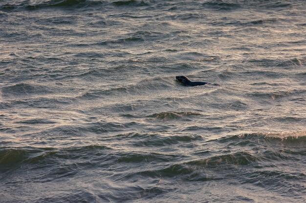 Quelques phoques montrant leur tête sur la plage de hunafjordur, au nord de l'islande.