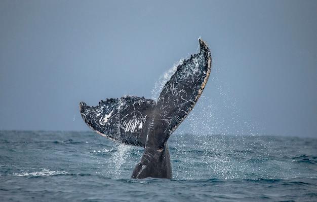Queue de la baleine à bosse