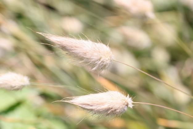 Queue de renard et concept d'herbe ou de quenouilles à poils