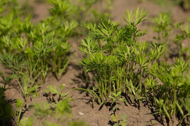 Des queues vertes et moelleuses de carottes dans le jardin en été poussent d'affilée