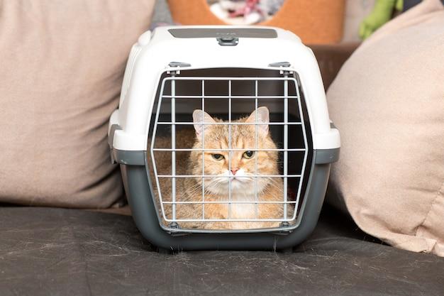 Race de chat chinchilla doré assis dans un porte-animal