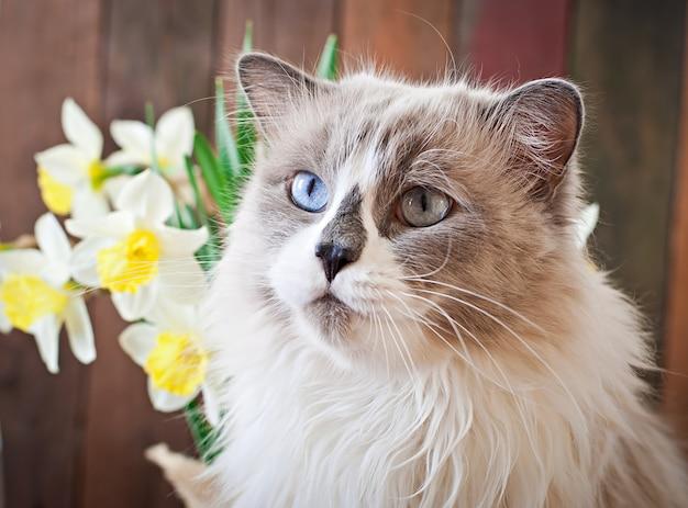 Race de chat ragdoll et un vase de narcisse