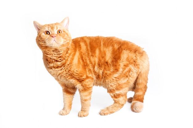 Race de chat rouge selkirk rex.