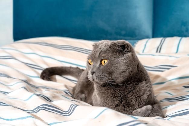 Race de chat scottish fold assis sur le lit intérieur moderne et confortable
