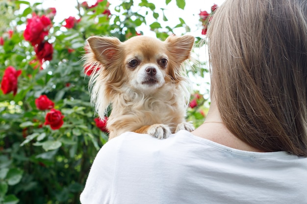 Race de chien chihuahua sur l'épaule d'une fille