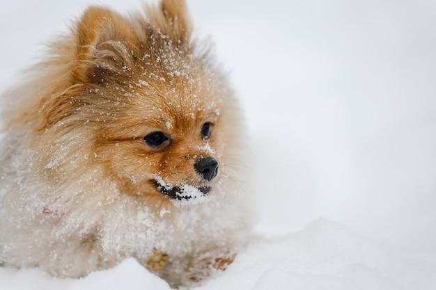Race de chien chiot poméranie rouge à l'extérieur en hiver