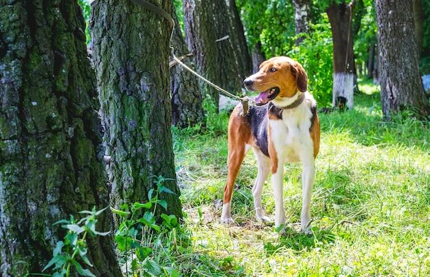 Race de chien lévrier estonien dans le parc attaché à un arbre