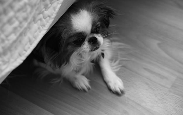 Race décorative de chiens. petit chien domestique. le chien sous le lit se cache.chien japonais hin