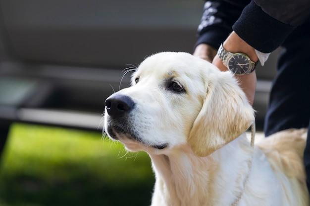 Race de labrador de chien blanc. une main d'homme tient l'animal en laisse. photo de haute qualité