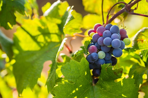 Raceme du cépage primitivo di manduria, vignoble biologique du salento, conditions naturelles, pouilles, italie