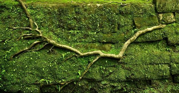 Racine d'arbre puissant rampant sur le vieux mur de pierre moussue à l'ancienne voie rurale à kamakura, japon