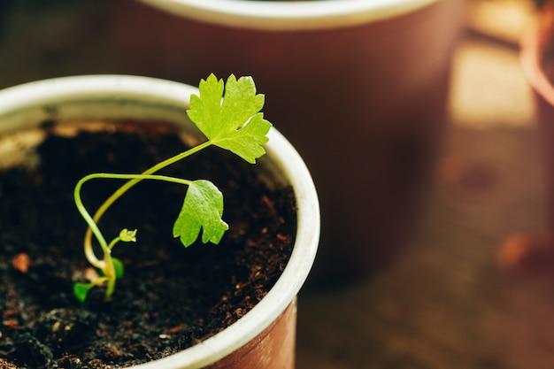 Racine de céleri close up sprout en tourbe pour atterrir dans le jardin