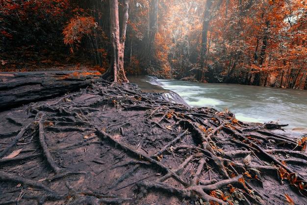 Racine de grand arbre avec des feuilles d'automne tombées