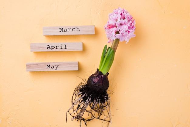 Racine de jacinthe avec des étiquettes de mois de printemps