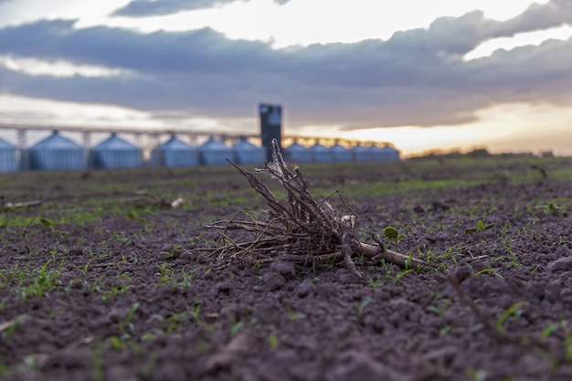 Racine d'une plante dans un champ sur fond de coucher de soleil
