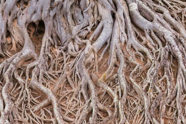 Racine de la texture de l'arbre