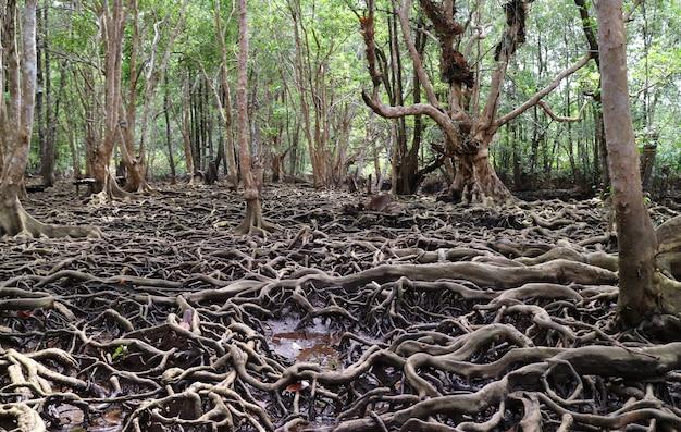 Racines d'arbres étonnantes dans la forêt de mangroves de la province de trat, thaïlande
