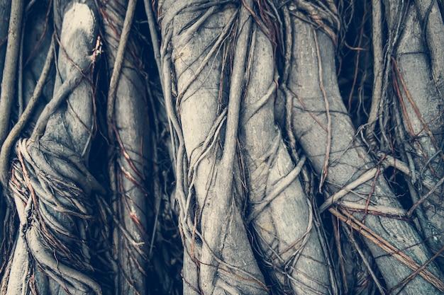 Racines d'arbres