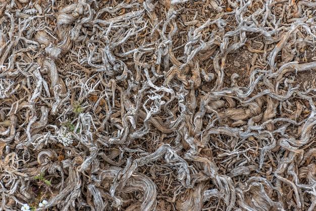 Les racines entrelacées des plantes périssent sur un sol aride