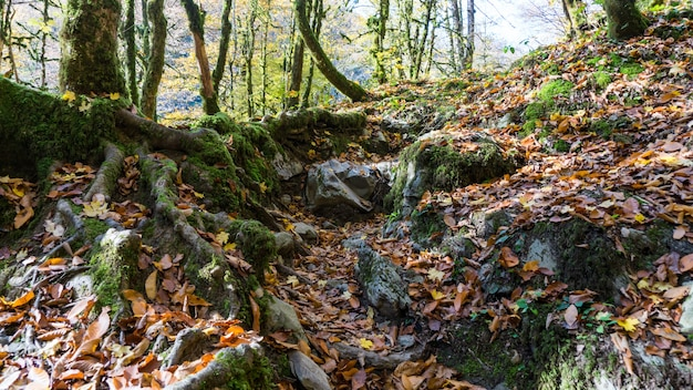 Racines moussues d'arbres couverts de mousse et de feuilles d'automne tombées à sotchi, russie