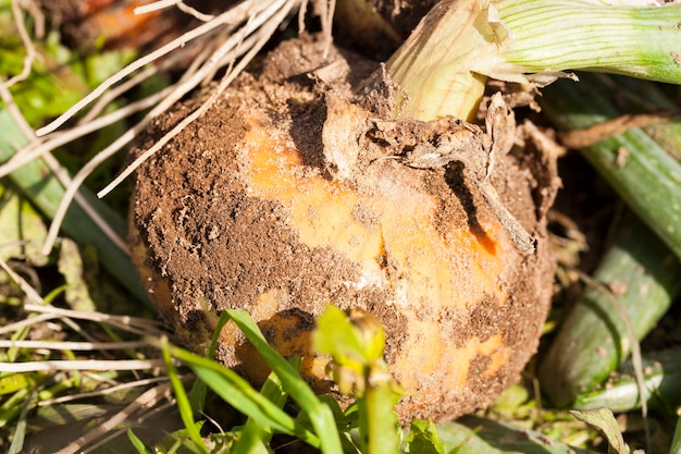 Racines d'oignon jaune mûr, qui a été arraché du sol. inclinez-vous au sol, une petite profondeur de champ