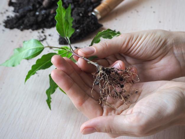 Racines saines d'une jeune plante prête à être plantée. plantez des semis pour la plantation. elevage d'hibiscus.