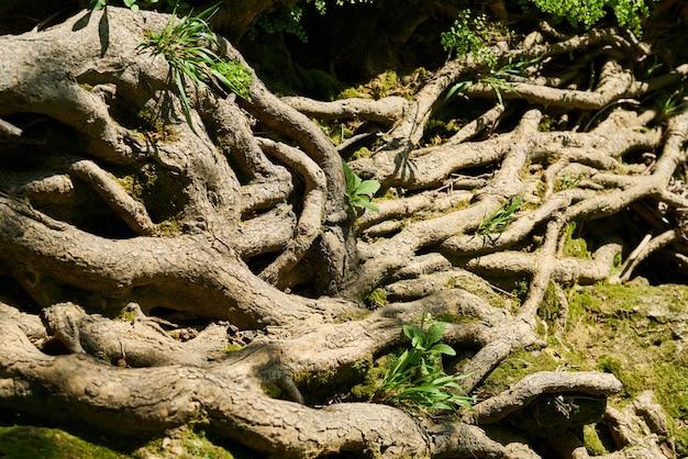 Racines de vieux arbres
