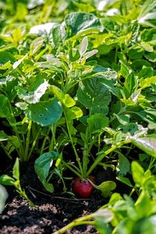 Radis rouge dans le domaine pendant la récolte.