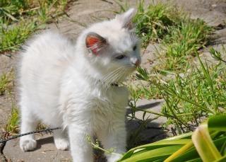 Ragdoll chaton en dehors