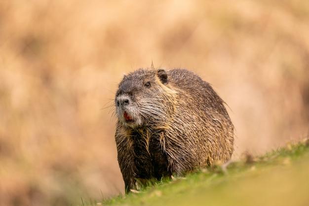 Le ragondin à fourrure se repose sur l'herbe ; un rongeur