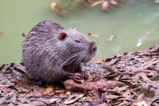 Le ragondin humide mange du pain au bord d'un étang